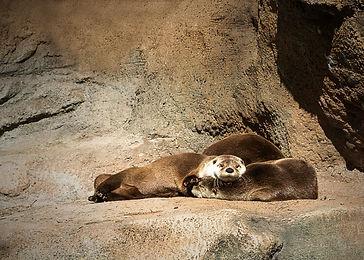 otters copy.jpg