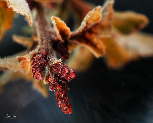 Oak flowers and frost.jpg