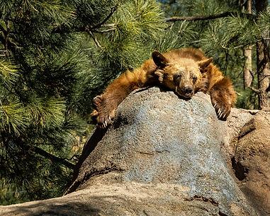 bear on rock copy.jpg