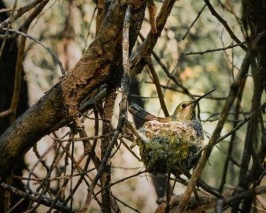 hummingbird on nesst.jpg