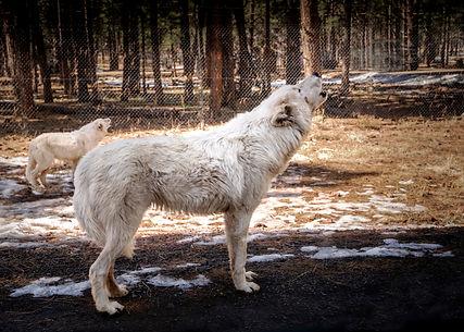 wolf white copy.jpg