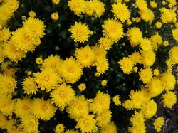 yellow_mum
