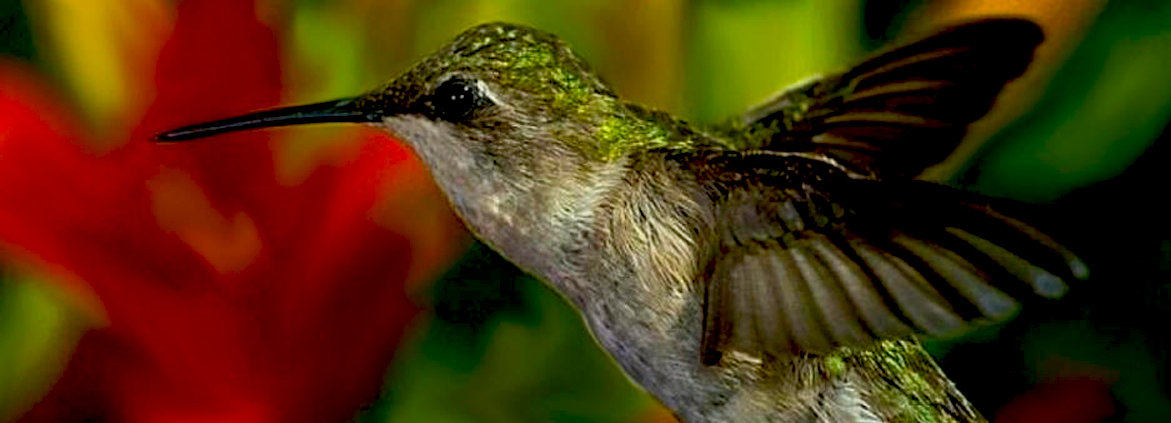 Bird-Watching, Maya Nature and Eco-Tours: Free - Hacienda Colonial Brief History and / or visit our Organic Orchard. Request when booking your stay. At a Cost - Guided Tours by our Maya local guides: Bird Watching, Mother Nature, Maya Herbal Medicine, Hacienda Chichen Resort, birding, birdwatching, bird refuge,birds, mexican birds. Come stay at Hacienda Chichen and enjoy the ever present melodies of hundreds of Yucatan birds as you stroll our gardens and observe our rich wildlife. The resort is Mexico's best Eco-Vision Hotel and Wellness Spa Destination and offers you an intimate communion with Mother Nature and the Maya civilization. Whether you are an avid birding enthusiast or just enjoy the sight of beautiful birds, consider staying at least two nights or book one of our many multi-night vacation packages.   In our hotel's gardens, private Maya Jungle Reserve, and Bird Refuge, you will find these resident birds, many endemic to Yucatan Peninsula and a true gift from Mother Nature