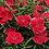 Thumbnail: Dianthus chinensis mix - Baby Doll