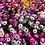 Thumbnail: Mesembryanthemum Mix (Burf) NM
