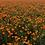 Thumbnail: California Poppy Orange NM