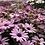 Thumbnail: Osteospermum ecklonis Mix NM