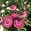 Thumbnail: Strawflower - Helichrysum Songs Mixed