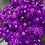 Thumbnail: Cineraria maritima Flowering NM