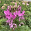 Thumbnail: Cleome spinosa Mixed