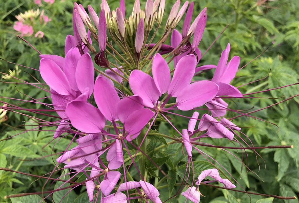 Cleome spinosa Mixed