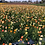 Thumbnail: Iceland Poppy Mix (Papaver nudicaule) NM