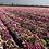 Thumbnail: Mesembryanthemum mix