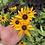 Thumbnail: Rudbeckia rustic Dwarf Mix NM