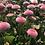 Thumbnail: Daisy-Bellis pomponette Mix