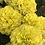 Thumbnail: Marigold Double Dwarf F2 Yellow NM