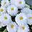Thumbnail: Daisy Double Mix (Bellis perennis) NM