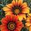 Thumbnail: Gazania Sunshine Hybrid Mix
