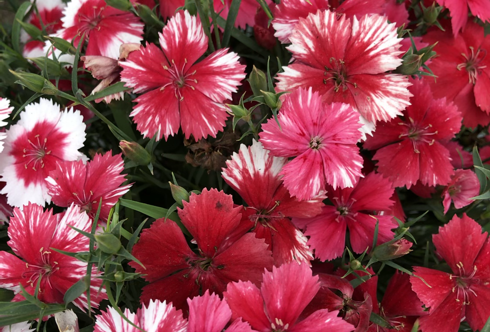 Dianthus chinensis mix - Baby Doll