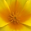Thumbnail: California Poppy Yellow NM