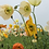 Thumbnail: Iceland Poppy - Papaver naudicaule Mix