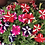 Thumbnail: Petunia Dwarf Stars Mix NM