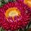 Thumbnail: Paper Flower Mix (Helichrysum) NM
