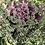 Thumbnail: Ornamental Kale - Brassica oleracea