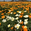 Thumbnail: California Poppy Mix NM