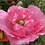 Thumbnail: Indian Shirley Poppy Mix (Papaver roheas) NM