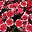 Thumbnail: Dianthus Baby Doll Mix NM
