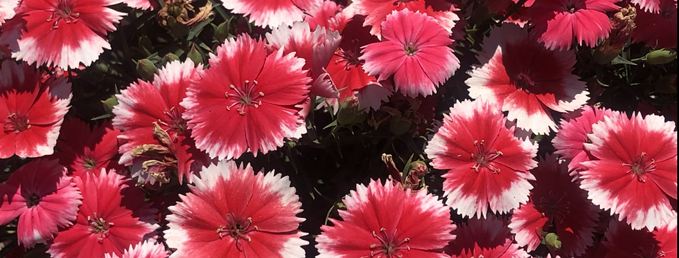Dianthus Baby Doll Mix NM