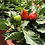 Thumbnail: Ornamental Chilly (Capsicum) Choice Round Mix NM