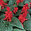 Thumbnail: Salvia splendens Saint John's Fire NM