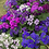 Thumbnail: Cineraria maritima Flowering