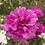 Thumbnail: Portulaca grandiflora Mix