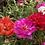 Thumbnail: Portulaca grandiflora Double Mix NM