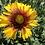 Thumbnail: Gaillardia aristata Mix