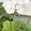 Thumbnail: Geranium Cloroma Mix - Pelargoneum