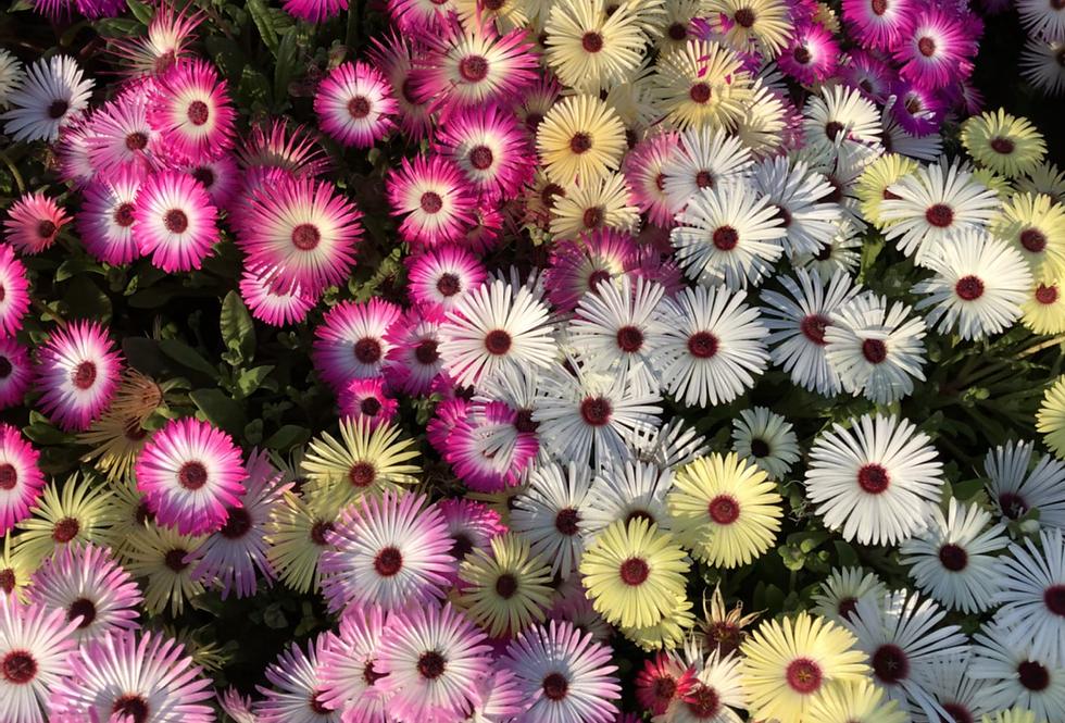Mesembryanthemum Mix (Burf) NM