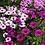 Thumbnail: Osteospermum ecklonis