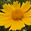 Thumbnail: Coreopsis lanceolata Dwarf Mayfield NM