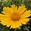 Thumbnail: Coreopsis lanceolata