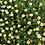 Thumbnail: Chrysanthemum paludosum