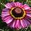 Thumbnail: Chrysanthemum carinatum