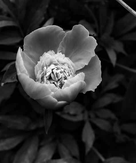 peony black and white