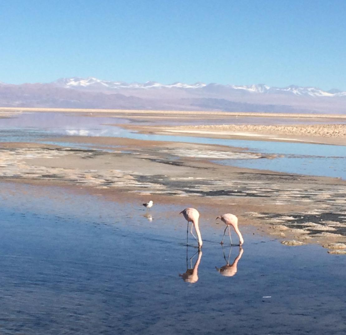 Flamingos-andinos na Laguna Chaxa