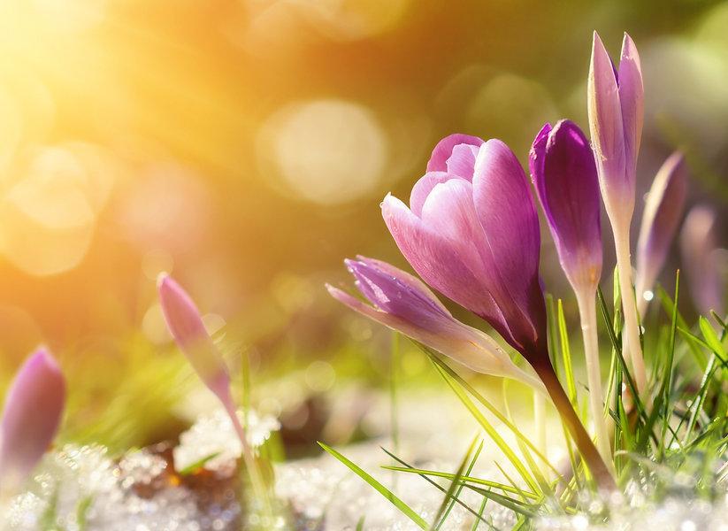Purple%2520crocus%2520flowers%2520in%2520snow%252C%2520awakening%2520in%2520spring%2520to%2520the%25