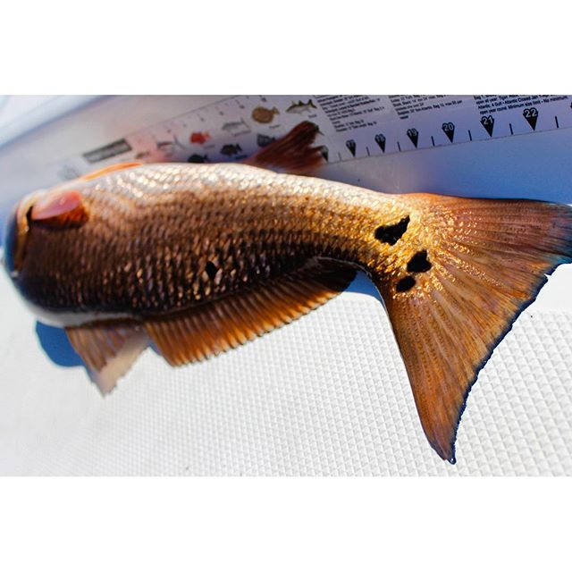 Redfish Love