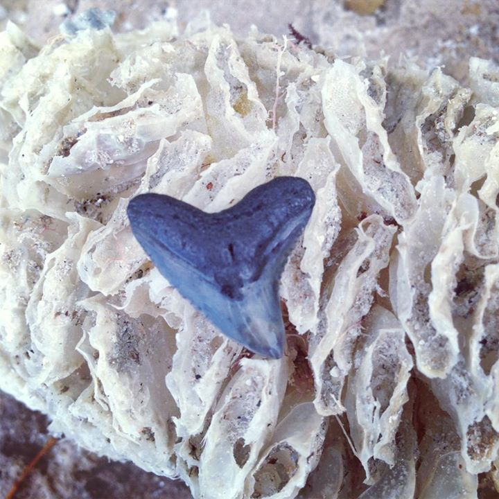 Shark tooth found on beach